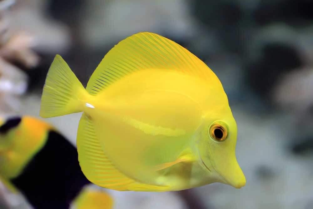 Choosing the right fish for your aquarium myaquarium for Yellow saltwater fish