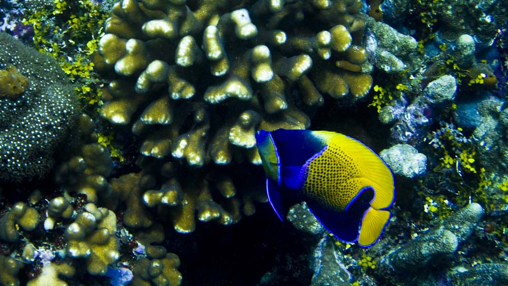 Live feeder fish in saltwater aquariums myaquarium for Live saltwater fish